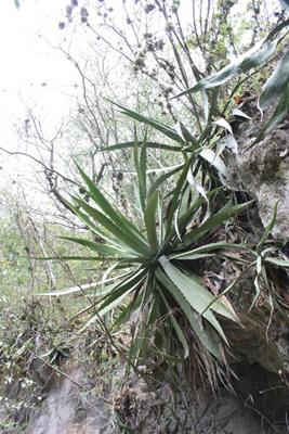 Agave aff. lophantha, Sierra Cucharas