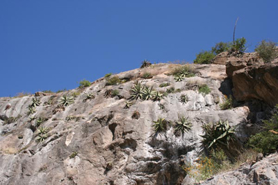 Agave xylonacantha, NW of Zimapan