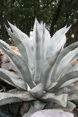 Agave americana subsp. protamericana, above Cd. Victoria