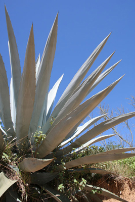Agave americana var. oaxacensis, road to Tetela