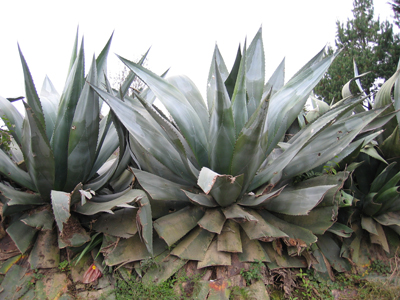 Hedgerow of Agave atrovirens var mirabilis, on Pico de Orizaba