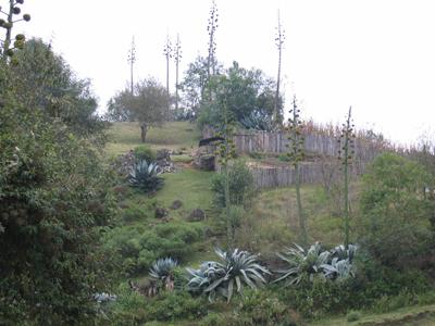 Agave atrovirens var mirabilis, on Pico de Orizaba