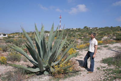 Agave salmiana, narrow leaved form, NE of Ixmiquilpan
