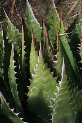 Agave montana, above Miquihuana