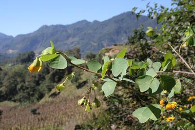 Amicia zygomeris, nr Huahuaxtla