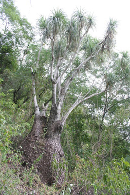 Beaucarnea recurvata, Sierra Cucharas