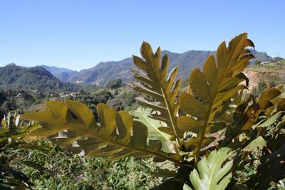 Bocconia frutescens, nr Huahuaxtla