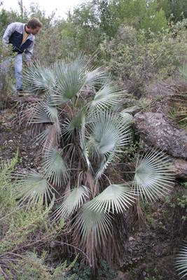 Brahea decumbens hybrid, W of Jaumave