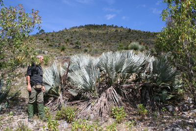 Brahea decumbens, E of La Peña