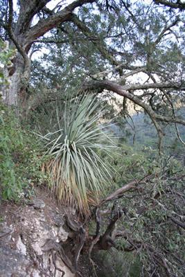 Dasylirion glaucophyllum under Juniperus flaccida, Los Marmoles