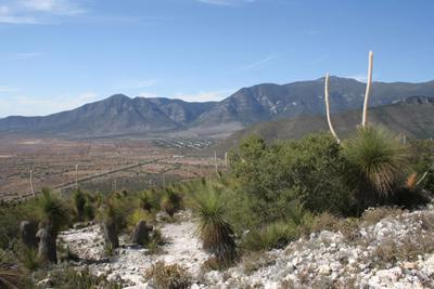Dasylirion quadrangulatum, above La Peña