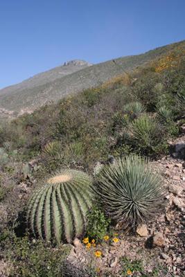 Echinocactus platyacanthus & Agave striata, NW of Zimapan