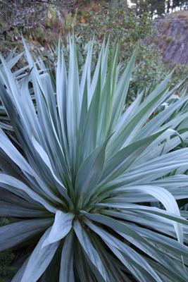 Young Furcraea parmentieri, Mineral del Chico