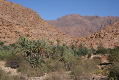Phoenix dactylifera near Tafraoute
