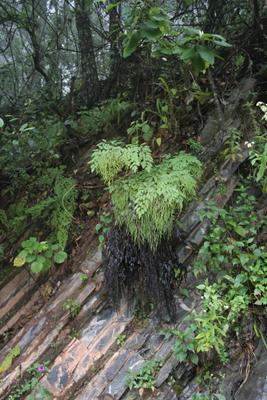 Llavea cordifolia, Sierra Gorda