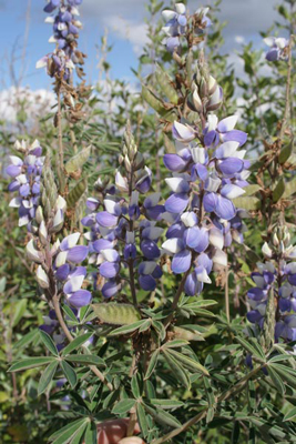 Lupinus sp. E side of Popocatepetl