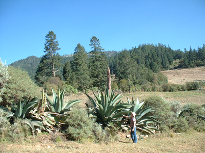 A giant cultivated form of Agave salmiana on Cofre de Perote