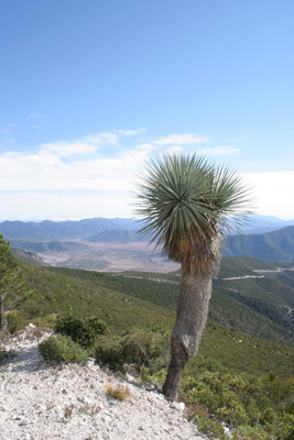 Nolina nelsonii, above La Peña