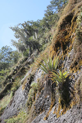 Oaks, Tillandsia and Agave aff. kerchovei, road to Tetela