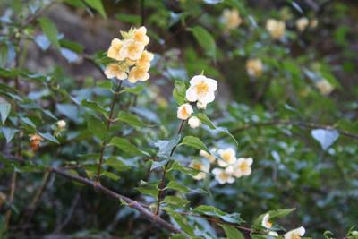 Philadelphus aff. mexicanus, Mineral del Chico