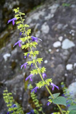 Salvia mexicana, Mineral del Chico