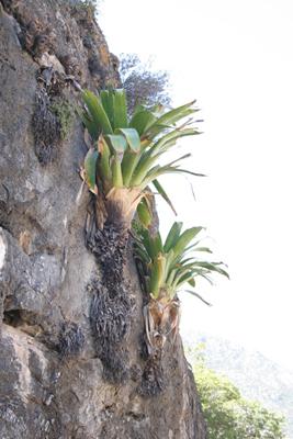 Tillandsia grandis, NW of Zimapan