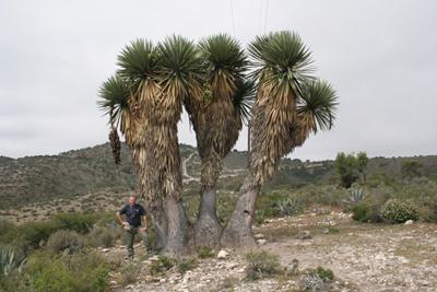 Yucca potosina/filifera, N of Camargo