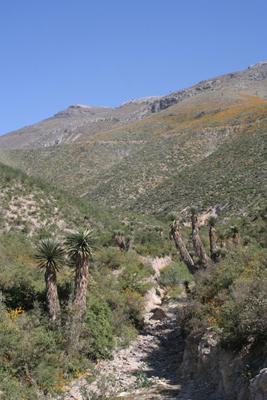 Yucca potosina/filifera, NW of Zimapan