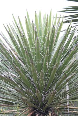 Yucca carnerosana, NW of Cd. del Maiz