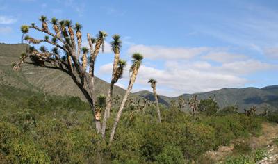 Yucca filifera nr Palmillas, Tamaulipas