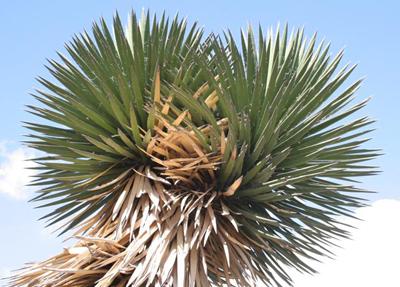 Yucca filifera, N of Zacatepec