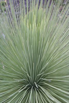 Yucca queretaroensis, NW of Zimapan