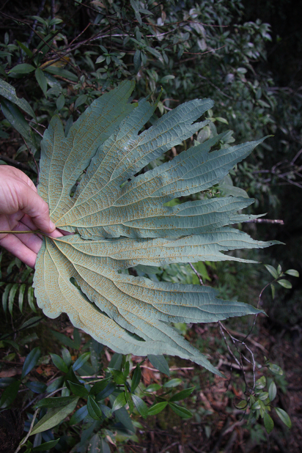 I just loved this fabulous fern. Dipteris chinensis.