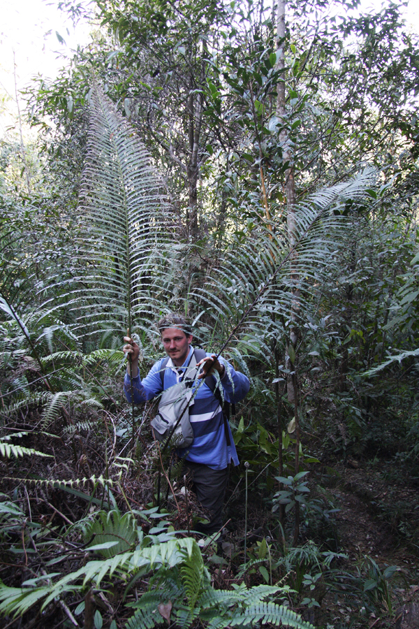 The French half of the expedition, Charles, poses with what we believe to be Blechnum orientale. My literature has this as growing fronds to nowhere near this big. These were about 2.5m!