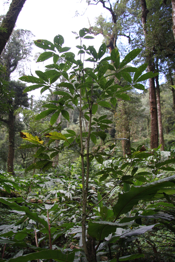 Pentapanax sp. makes a small tree, but is a semi-parasite and is very difficult to cultivate.