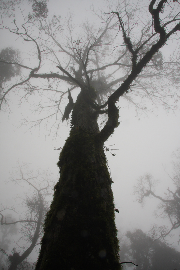 A. wangii looms large through the mist. The largest tree of the species we found.