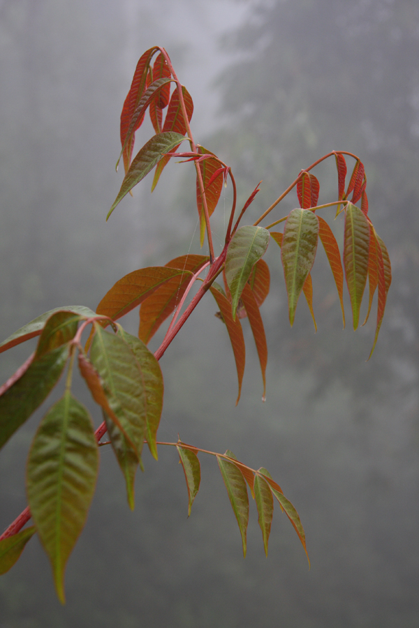 Rhus succedanea, a most elegant species with superb new leaf colour in this area.