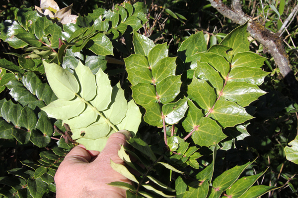 Mahonia manipurensis.