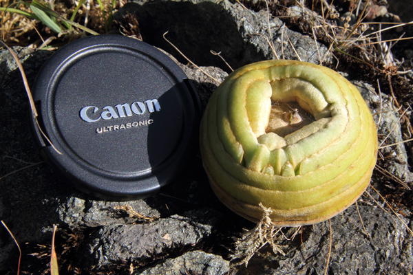 Quercus lamellosa. The lens cap is large at 7cm, or nearly 3 inches, across