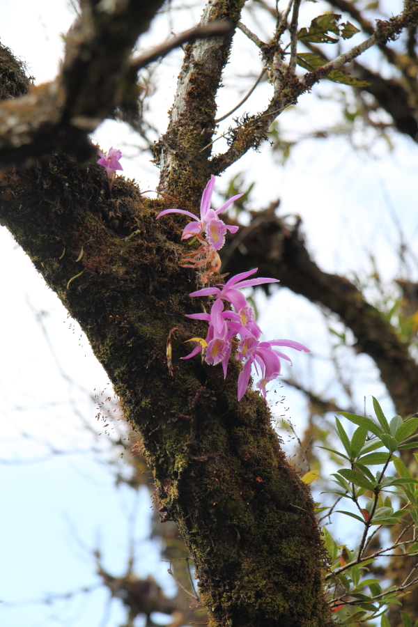 Pleione praecox. An autumn flowering species, plentiful as an epiphyte on Quercus sp. on the lower to mid elevation slopes of Sirhoi.