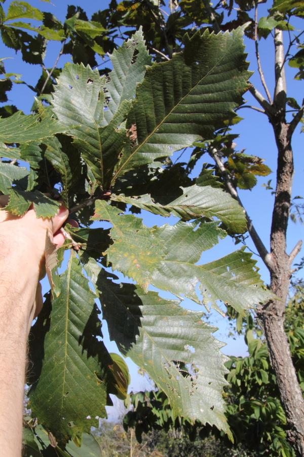 Quercus griffithii.