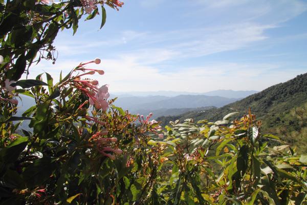 Luculia gratissima, scenting the air around.