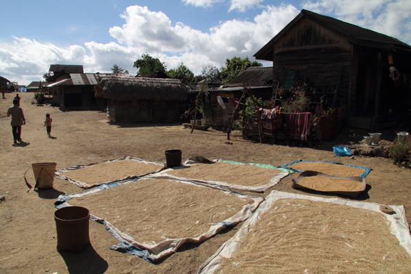 Rice drying in Zingsui village, en route to Ukhrul.