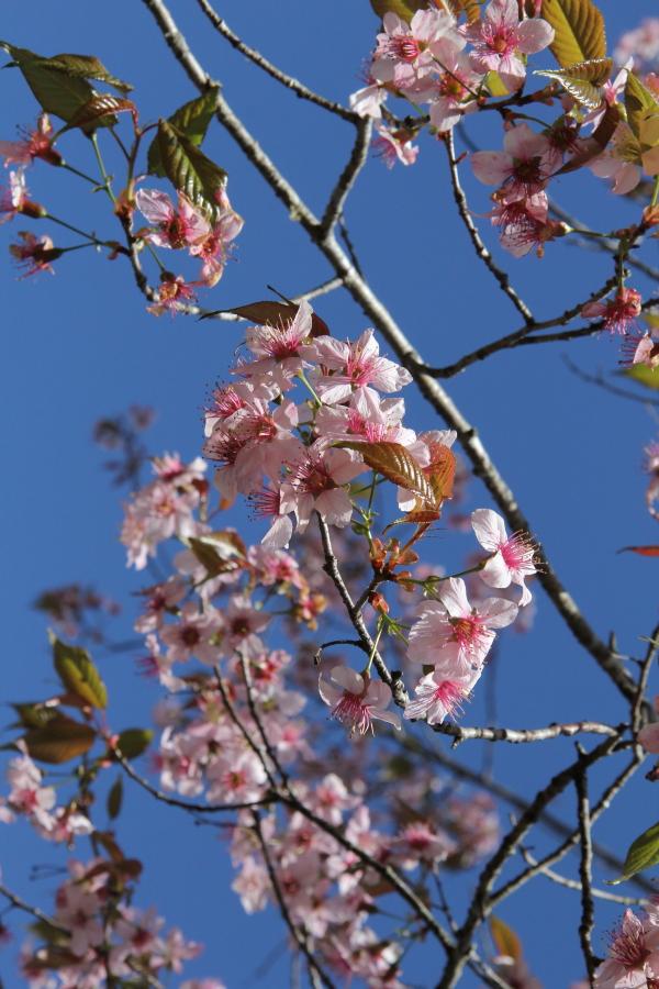 Prunus cerasoides.