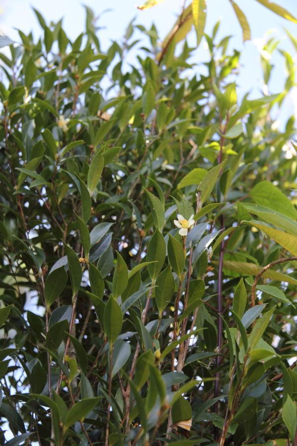 Camellia sinensis. Wild tea.