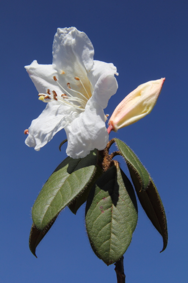 Rhododendron johnstoneanum, Khayangphung, 2850m asl.